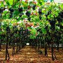 Alla scoperta dei vini lombardi