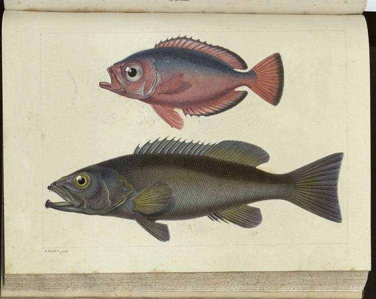 Histoire naturelle des iles Canaries, vol. 2.2, Ichthyologie tav. [3]