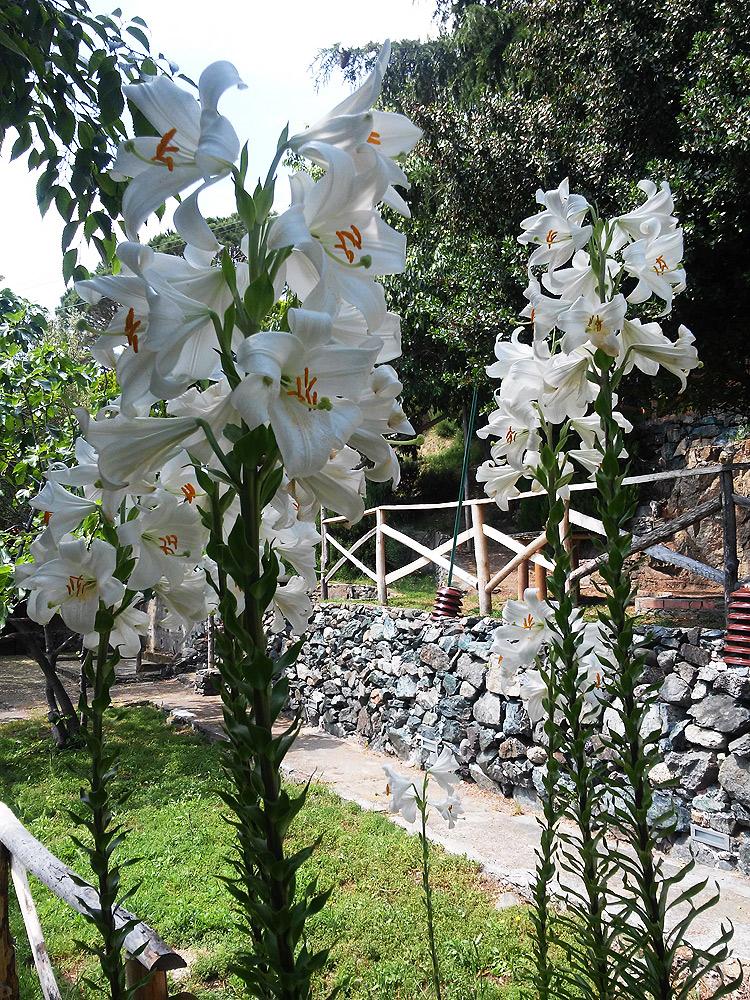 I gigli in fiore