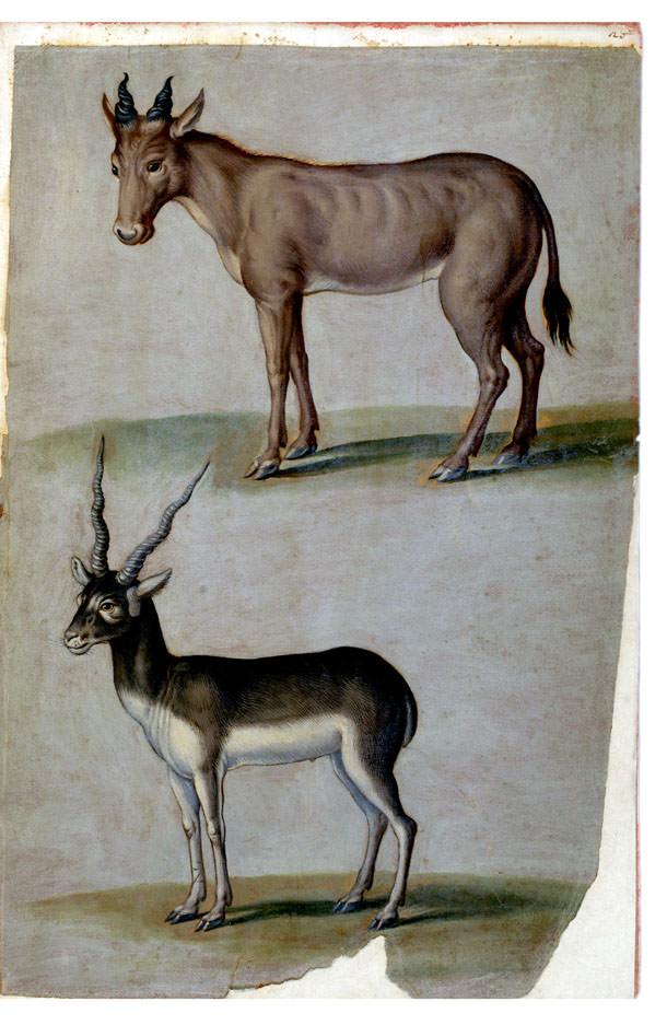 Giuseppe Arcimboldo, Alcefalo e Antilope cervicapra (1584; acquerello su carta; Ms. Aldrovandi, Tavole di Animali,  V, c. 20, Bologna, Biblioteca Universitaria)