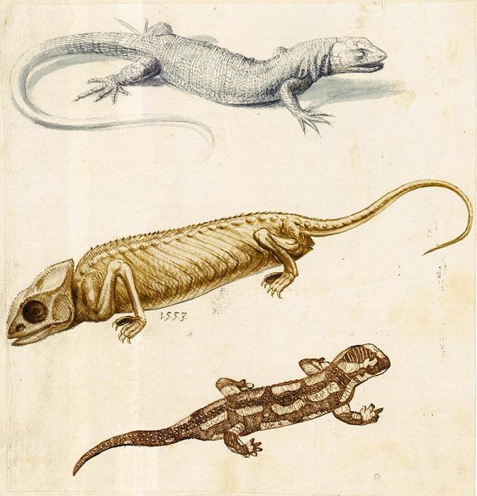 Giuseppe Arcimboldo, Studio di una lucertola, un camaleonte e una salamandra (1553; Vienna, Österreichische Nationalbibliothek, Bibl. Cod. min. 42, fol. 128r)