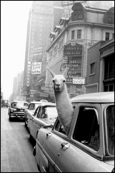 Inge Morath, Lama vicino a Times Square, New York 1957, © Magnum Photos