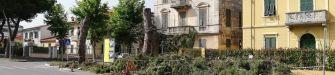 A Carrara si abbattono pini storici per rifare un marciapiede sul lungomare